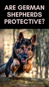 German Shepherd Characteristics: Are German Shepherds Protective