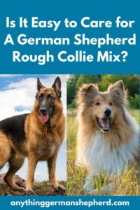 German Shepherd Rough Collie Mix