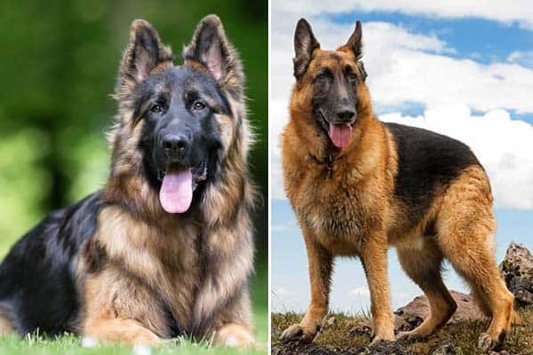 king shepherd vs german shepherd