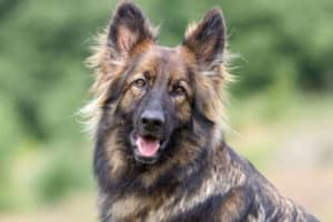 Best Bones For A German Shepherd