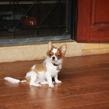 white and brown chihuahua dog