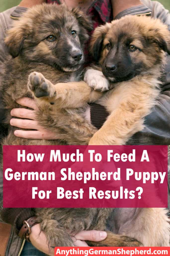 How Much To Feed A German Shepherd Puppy For Best Results?