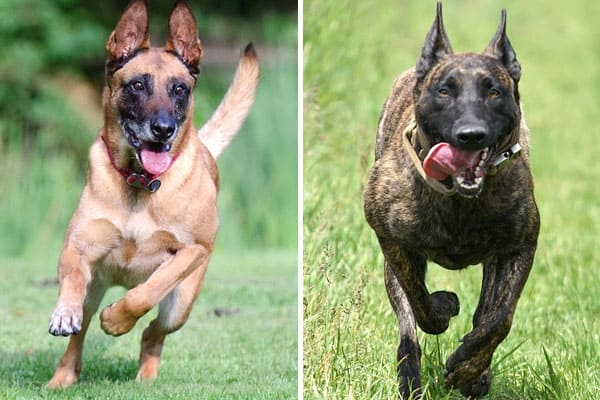 Dutch Shepherd Vs. Belgian Malinois