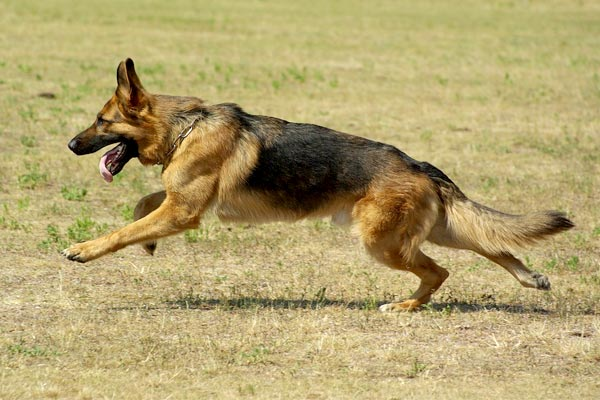 how to train my german shepherd for personal protection
