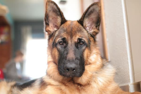Best Dog Food For EPI German Shepherd