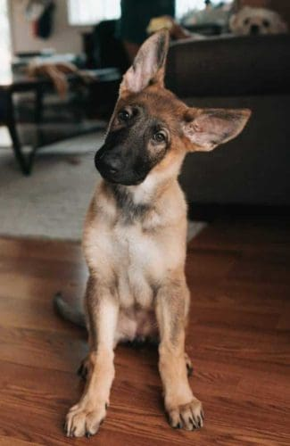 how-many-puppies-can-a-german-shepherd-have
