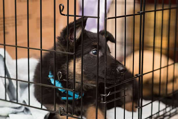 How-to-Crate-Train-a-German-Shepherd-Puppy
