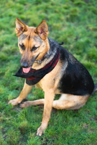 Spaying-and-Neutering-your-German-Shepherd