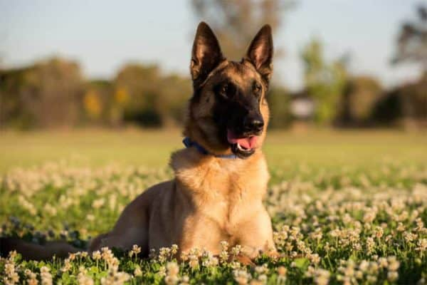 how-much-does-a-belgian-malinois-cost-and-cost-to-keep